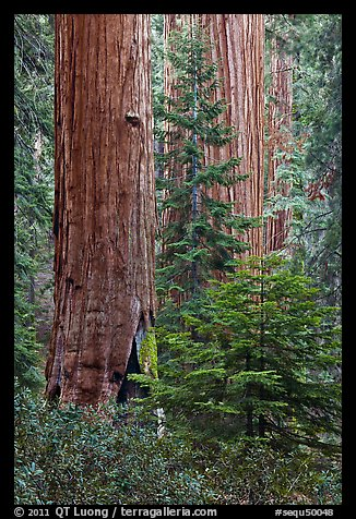 Giant Sequoias in the Giant Forest. Sequoia National Park (color)