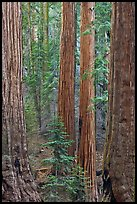 Sequoias forest. Sequoia National Park, California, USA. (color)