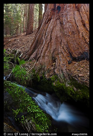 Brook at the base of giant sequoia tree. Sequoia National Park (color)