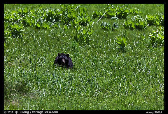 Black bear in Round Meadow. Sequoia National Park (color)