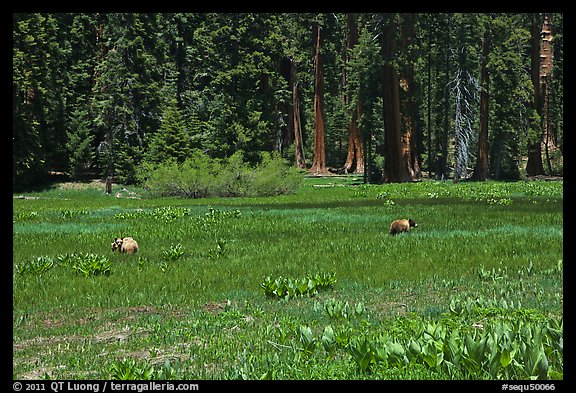 Round Meadow with bear family. Sequoia National Park (color)