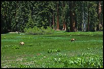 Round Meadow with bear family. Sequoia National Park, California, USA. (color)