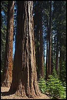 Sunlit sequoia forest. Sequoia National Park, California, USA. (color)