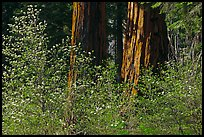 Dogwoods and sequoias. Sequoia National Park, California, USA. (color)
