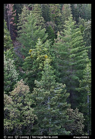 Pine forest canopy. Sequoia National Park (color)