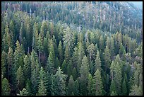 Evergreen forest seen from Moro Rock. Sequoia National Park ( color)