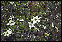 Dogwood flowers. Sequoia National Park, California, USA. (color)