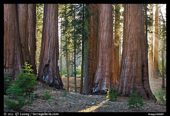 Group of backlit sequoias, early morning. Sequoia National Park (color)