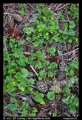 Sequia Forest floor close-up. Sequoia National Park (color)