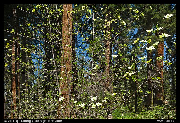 Dogwood in bloom and grove of sequoia trees. Sequoia National Park (color)