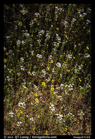 White and yellow wildflowers. Sequoia National Park (color)