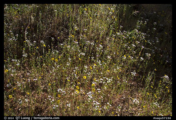 Carpet of yellow and white flowers. Sequoia National Park (color)