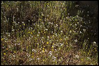 Carpet of yellow and white flowers. Sequoia National Park ( color)
