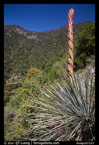 Yucca stem and forested slopes. Sequoia National Park (color)