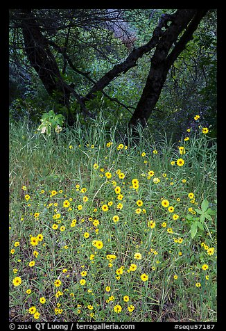 Yellow wildflowers and oaks. Sequoia National Park (color)