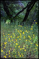 Yellow wildflowers and oaks. Sequoia National Park ( color)