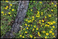 Ground view with yellow wildflowers and fallen oak branch. Sequoia National Park ( color)