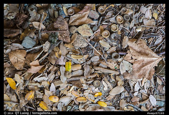 Ground view with fallen acorns. Sequoia National Park (color)
