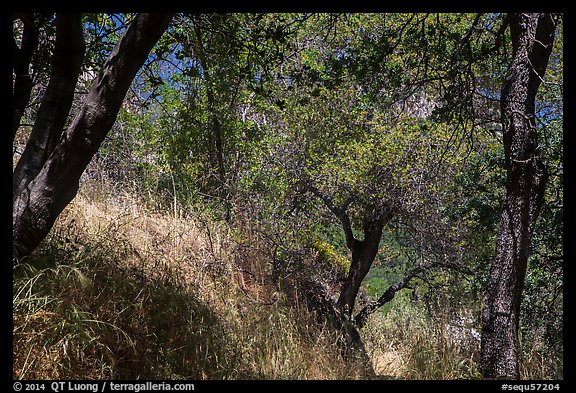 Oak trees and grasses in spring near Ash Peaks. Sequoia National Park (color)