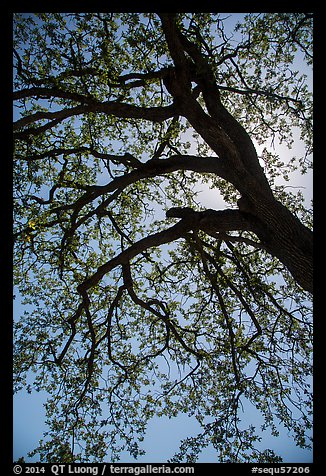 Branches of oak tree with new leaves. Sequoia National Park (color)