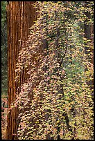 Dogwood in fall foliage and sequoia. Sequoia National Park ( color)