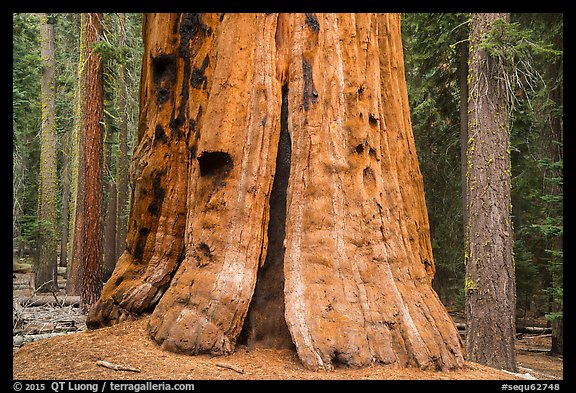 Base of General Lee tree, Giant Forest. Sequoia National Park (color)