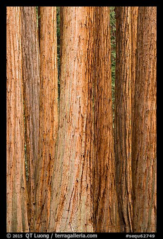 Tightly clustered sequoia tree trunks. Sequoia National Park (color)