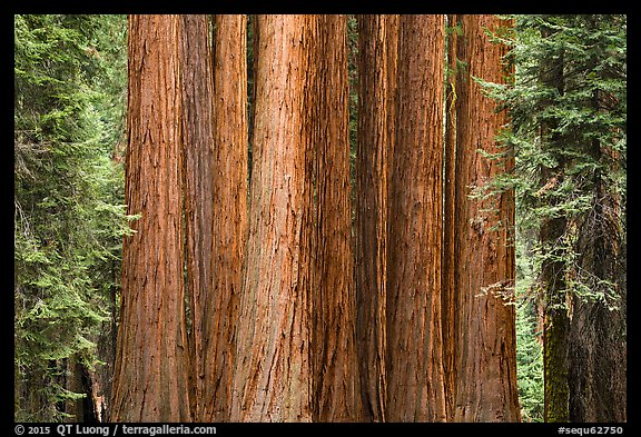 Densely clustered sequoia tree trunks, Giant Forest. Sequoia National Park (color)