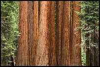 Densely clustered sequoia tree trunks, Giant Forest. Sequoia National Park ( color)