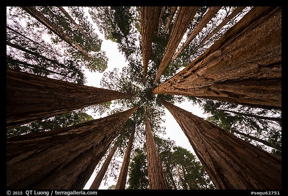 Looking up grove of sequoia trees, Giant Forest. Sequoia National Park (color)