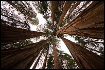 Looking up grove of sequoia trees, Giant Forest. Sequoia National Park ( color)