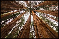 Upwards view of grove of sequoia trees. Sequoia National Park ( color)