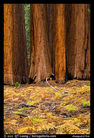 Group of giant sequoias and ferns in autumn. Sequoia National Park (color)