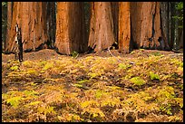 Ferms in autumn colors and grove of giant sequoias. Sequoia National Park ( color)
