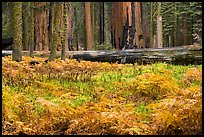 Meadow with ferns in autumn in Giant Forest. Sequoia National Park ( color)