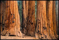 Senate group of sequoia trees. Sequoia National Park ( color)
