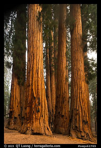 Senate Group. Sequoia National Park (color)