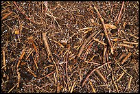 Close-up of ground with fallen branches, needles, and hailstones. Sequoia National Park ( color)