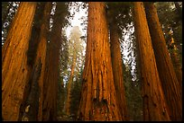 Senate Group of sequoia trees in rain. Sequoia National Park ( color)