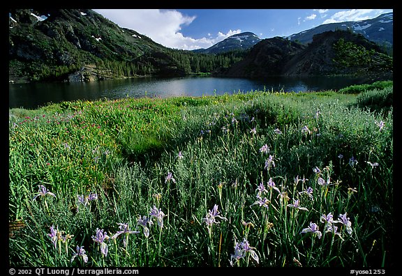 Summer flowers and Lake near Tioga Pass, late afternoon. California, USA (color)