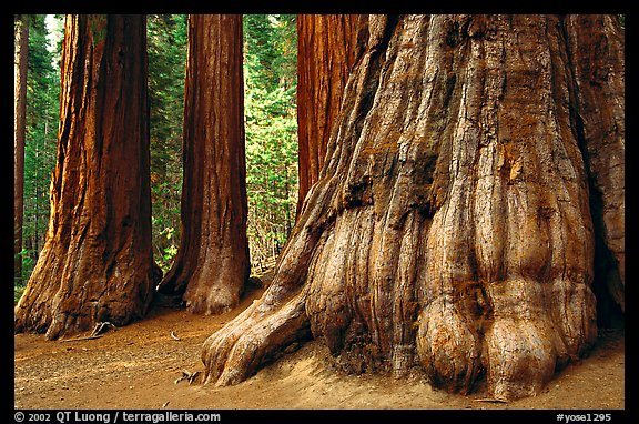 Giant Sequoias (Sequoiadendron giganteum) in Mariposa Grove. Yosemite National Park (color)
