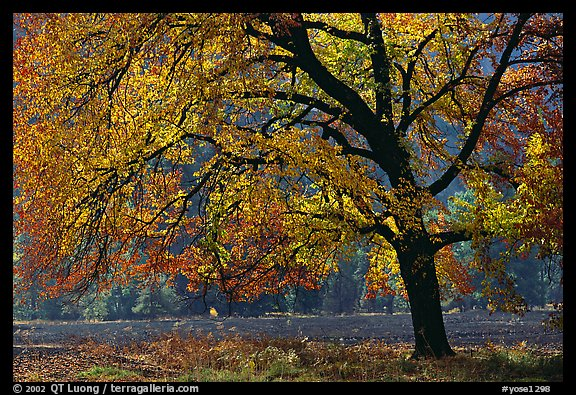 Elm Tree in autumn, Cook meadow. Yosemite National Park (color)