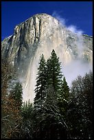 Pine trees and fog, looking up El Capitan. Yosemite National Park, California, USA.