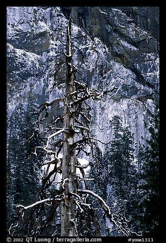 Tree in El Capitan meadows and Cathedral Rocks cliffs, winter. Yosemite National Park (color)