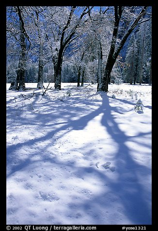Shadows on snow of oaks trees, El Capitan meadows, winter. Yosemite National Park (color)