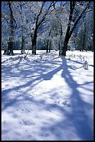 Shadows on snow of oaks trees, El Capitan meadows, winter. Yosemite National Park, California, USA.