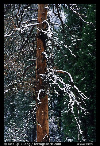 Trunk and snow-covered branches of tree in El Capitan meadow. Yosemite National Park (color)