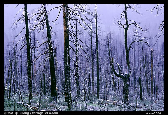 Burned forest in winter along  Big Oak Flat Road. Yosemite National Park (color)