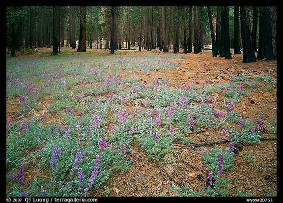 Lupine on floor of burned forest. Yosemite National Park (color)