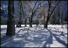 Black Oaks and shadows in El Capitan Meadow in winter. Yosemite National Park, California, USA.